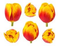 Los tulipanes florecen en diversos ángulos de cámara aislados en el backgro blanco Foto de archivo libre de regalías