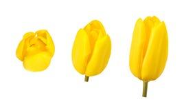 Los tulipanes florecen en diversos ángulos de cámara aislados en el fondo blanco Foto de archivo libre de regalías