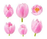 Los tulipanes florecen en diversos ángulos de cámara aislados en el fondo blanco Imagenes de archivo