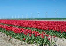 Los tulipanes florecen en el medio del oagainst del campo de los tulipanes a SK Fotografía de archivo libre de regalías