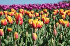 Los tulipanes florecen en el medio del oagainst del campo de los tulipanes a SK Imagen de archivo