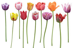 Los tulipanes florecen en fila Foto de archivo libre de regalías