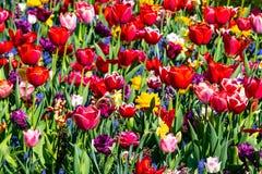 Los tulipanes hermosos colocan en Holland Keukenhof colores hermosos fotografía de archivo libre de regalías
