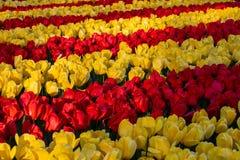 Los tulipanes hermosos colocan en Holland Keukenhof colores hermosos imágenes de archivo libres de regalías