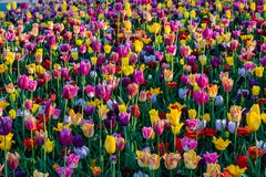 Los tulipanes hermosos colocan en Holland Keukenhof colores hermosos fotografía de archivo