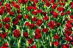Los tulipanes hermosos colocan en Holland Keukenhof colores hermosos imagen de archivo