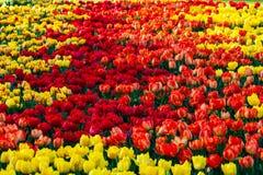 Los tulipanes hermosos colocan en tiempo soleado en Holanda imagenes de archivo
