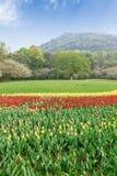 Los tulipanes hermosos están en la plena floración en jardín Fotos de archivo