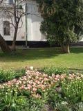 Los tulipanes hermosos florecen delante del ` s, Kiev, Ucrania del St Sofía Foto de archivo libre de regalías