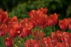 Los tulipanes hermosos florecen y ponen verde el fondo de la hoja en el jardín Foto de archivo