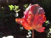 Los tulipanes holandeses florecen temprano imagenes de archivo