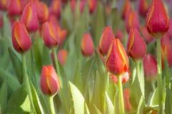Los tulipanes naranja-amarillos cultivan un huerto en la niebla con la luz del sol Foto de archivo libre de regalías