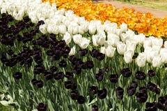 Los tulipanes negros, blancos y anaranjados florecen en el parque Fotografía de archivo libre de regalías