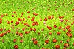 Los tulipanes rojos. Imagen de archivo