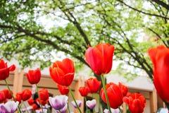 Los tulipanes rojos Imagen de archivo libre de regalías