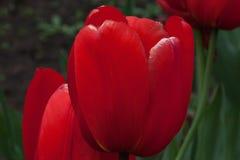 Los tulipanes rojos están creciendo en un prado de la primavera Imagen de archivo libre de regalías