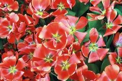 Los tulipanes rojos están floreciendo imagenes de archivo