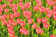 Los tulipanes rojos florecen en verano en un fondo verde Foto de archivo