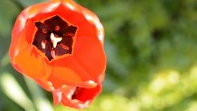 Los tulipanes rojos frescos salen de foco almacen de video