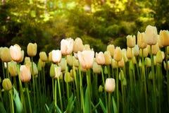 Los tulipanes rojos hermosos florecen en tulipanes colocan en los vagos de los jardines de los tulipanes imágenes de archivo libres de regalías