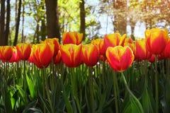 Los tulipanes rojos hermosos florecen en tulipanes colocan en los vagos de los jardines de los tulipanes imagenes de archivo