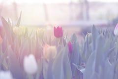 Los tulipanes rojos que florecen en jardín de la primavera con el sol señalan por medio de luces Imagen de archivo