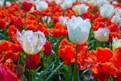 Los tulipanes rojos y blancos en la primavera cultivan un huerto Fondo de Pascua Fotos de archivo libres de regalías