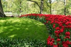 Los tulipanes rojos y la hierba verde en Holanda cultivan un huerto Fotografía de archivo