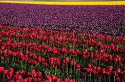 Los tulipanes rojos y púrpuras en la plena floración en un tulipán colocan Foto de archivo