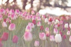 Los tulipanes rojos y rosados que florecen en primavera cultivan un huerto Imagen de archivo