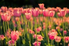 Los tulipanes rosados en fondo oscuro en la luz del sol Imagen de archivo libre de regalías