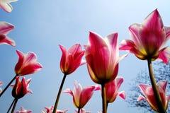 Los tulipanes rosados en la foto del jardín fueron tomados encendido: 2015 3 28 Foto de archivo