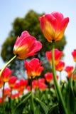 Los tulipanes rosados en la foto del jardín fueron tomados encendido: 2015 3 28 Fotografía de archivo libre de regalías
