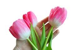 Los tulipanes rosados en una mano Imagenes de archivo