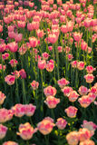 Los tulipanes rosados encendido en troncos largos en la luz del sol Imágenes de archivo libres de regalías