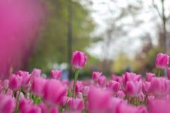 Los tulipanes rosados parquean en la ciudad de Gaziantep - pavo foto de archivo