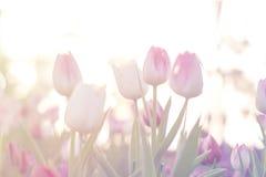Los tulipanes rosados se cierran encima de la floración en jardín de la primavera Imagen de archivo libre de regalías