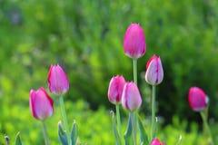 Los tulipanes rosados se cierran para arriba fotografía de archivo libre de regalías
