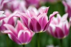 Los tulipanes rosados se cierran para arriba Foto de archivo