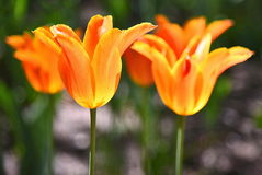 Los tulipanes se colocan maravillosamente en Detroit Foto de archivo libre de regalías