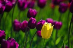 Los tulipanes se destacan fotos de archivo libres de regalías