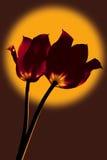 Los tulipanes son naranja entonada Imagen de archivo
