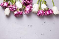 Los tulipanes violetas y blancos brillantes florecen en backgro texturizado gris Imágenes de archivo libres de regalías