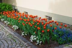 Los tulipanes y me olvidan no las flores en el jardín Reichenau foto de archivo libre de regalías