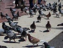 Los turistas alimentan las palomas en el área Catalunya en Barcelona fotografía de archivo libre de regalías