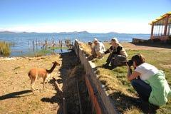 Los turistas toman las imágenes de la vicuña en las orillas del lago Titicaca Fotografía de archivo