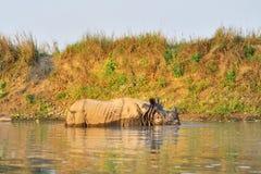 Los unicornis del rinoceronte del rinoceronte indio en el río Imagenes de archivo