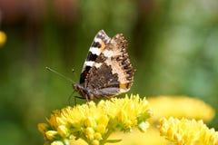 Los urticae de Aglais de la mariposa se sientan en una flor amarilla foto de archivo