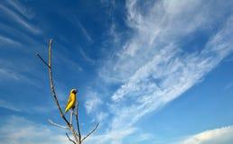 Los varones de Ricebird están esperando a hembras para acoplarse Fotos de archivo
