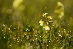 Los veris de la prímula de la primavera florecen descensos del tiro y de rocío Imagen de archivo